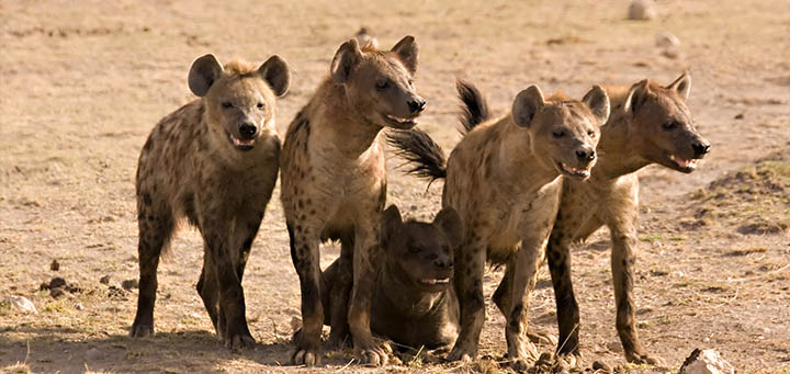Hyena trophy hunting